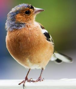 Oiseau conte Marie Christine